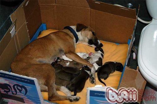 犬分娩 (1)