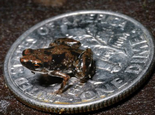 世界真奇妙——最小的脊椎动物(图)