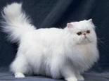 关于波斯猫的简单美容方法