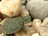 巴西龟容器布景的四个注意点(图)