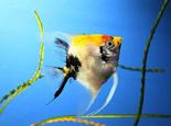 如何分辨七彩神仙鱼的雌雄呢