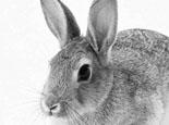 如何人工为母兔催情