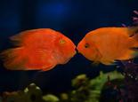 关于鹦鹉鱼的品种介绍