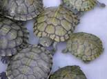 为龟类等爬行动物增加湿度的方法(图)