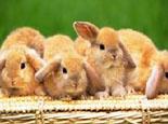 夏季繁育兔兔需要注意的事项