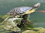 饲养巴西龟需要准备的用具(图)