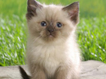 关于喜马拉雅猫的日常修理