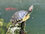 巴西龟成龟饲养环境设置(图)