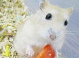 仓鼠患上皮肤病症状及治疗
