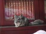 龙猫孕期要注意些什么
