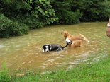 纯种犬的近亲繁殖的理论