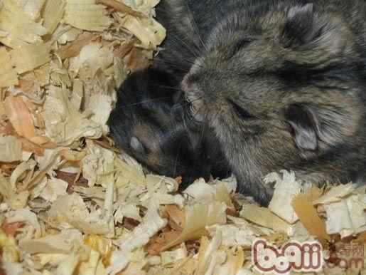 仓鼠生产前要公母分笼图片