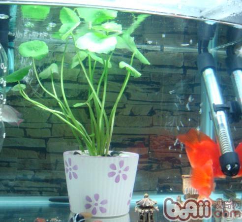 一,加热棒的选购   常用的鱼缸使用的加热棒大体分一下几种控制