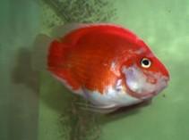 分享罗汉鱼厌食症的原因和对策
