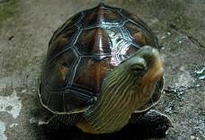 介绍关于家养龟冬眠时间
