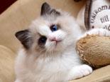 看准特征 挑选纯种布偶猫