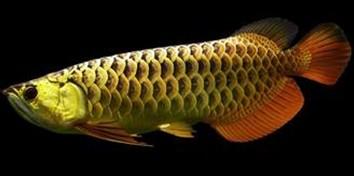 非疾病性的龙鱼问题对策