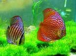 七彩神仙鱼发病的五大原因