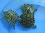 龟龟呛水的护理方法