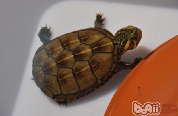 特征:由(Garman, 1891)命名,属小型泥龟,体长在12厘米左右。背甲比较宽阔与平坦,最高与最宽处是均在背部中央的后方,成体果核无脊椎骨,盾甲边缘没有锯齿,而刚出生的幼体却有一条脊椎骨(背部中央)。第1块椎盾普遍的较长,向前方延伸扩张,与第1、2块缘盾相接处。第2-5块的椎盾宽度通常都大于长度,背甲上的椎盾显得比较扁平与宽阔,也许在背部中央形成很浅的凹槽。第10块缘盾明显得高于其它几块。背甲的颜色从黑色到棕褐色有着不同的变化,有些甚至于接近透明色。因而,有时可以看到骨架的结构。三条易