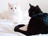 猫咪眼睛有哪些颜色