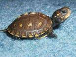 刚出壳的稚龟应该怎么饲养