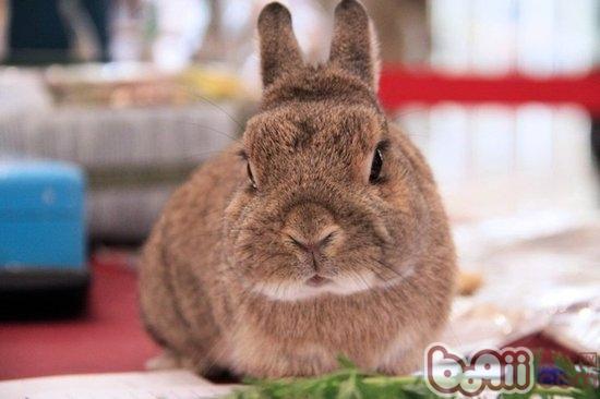 兔子/兔子的品种很多,从养育的角度来说,虽然饲养它们不像饲养猫狗...