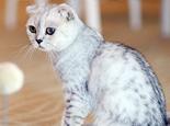 苏格兰折耳猫寿命多长时间
