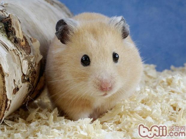 6,仓鼠是十分活跃的动物,您一定要经常逗它玩.