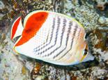 关于蝶鱼品种的介绍资料