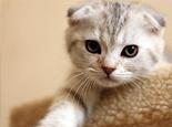如何辨别纯种苏格兰折耳猫