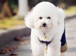 关于贵宾犬褪色的问题