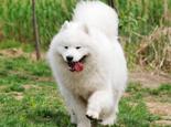 萨摩耶犬配种受哪些因素影响