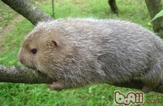 竹鼠常见的品种有哪些