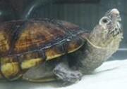 给龟自然冬眠的好处