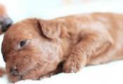 导致宠物狗流产的原因有哪些