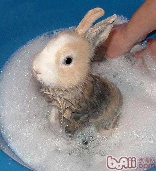 给宠物兔洗澡的误区图片