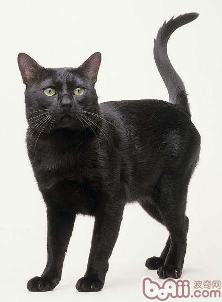 孟买猫和黑猫有什么区别