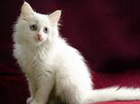 波斯貓外貌特點的介紹