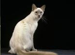 拥有纤细的身条的巴厘岛猫