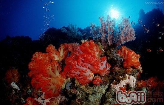 珊瑚简笔画步骤