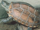 挑选优质草龟的方法