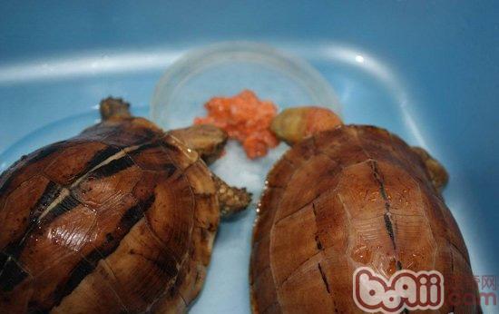 宠物/宠物龟是很好养活的宠物,只需要给它一个合适它的生活环境,...