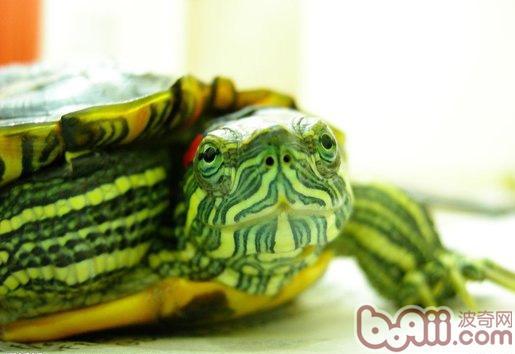 巴西龟/巴西龟也是雌雄异体的宠物,有很多人喜欢饲养巴西龟。...