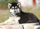 阿拉斯加幼犬戒奶的注意事项