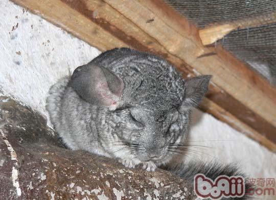 龙猫妈妈的调理休养的方式|小宠繁殖-波奇网百科大全