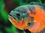 地图鱼容易患有哪些疾病