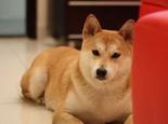 秋田犬的训练注意事项