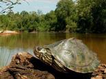 关于地图龟各个亚种的介绍