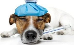 犬的体温超过多少才算是发热